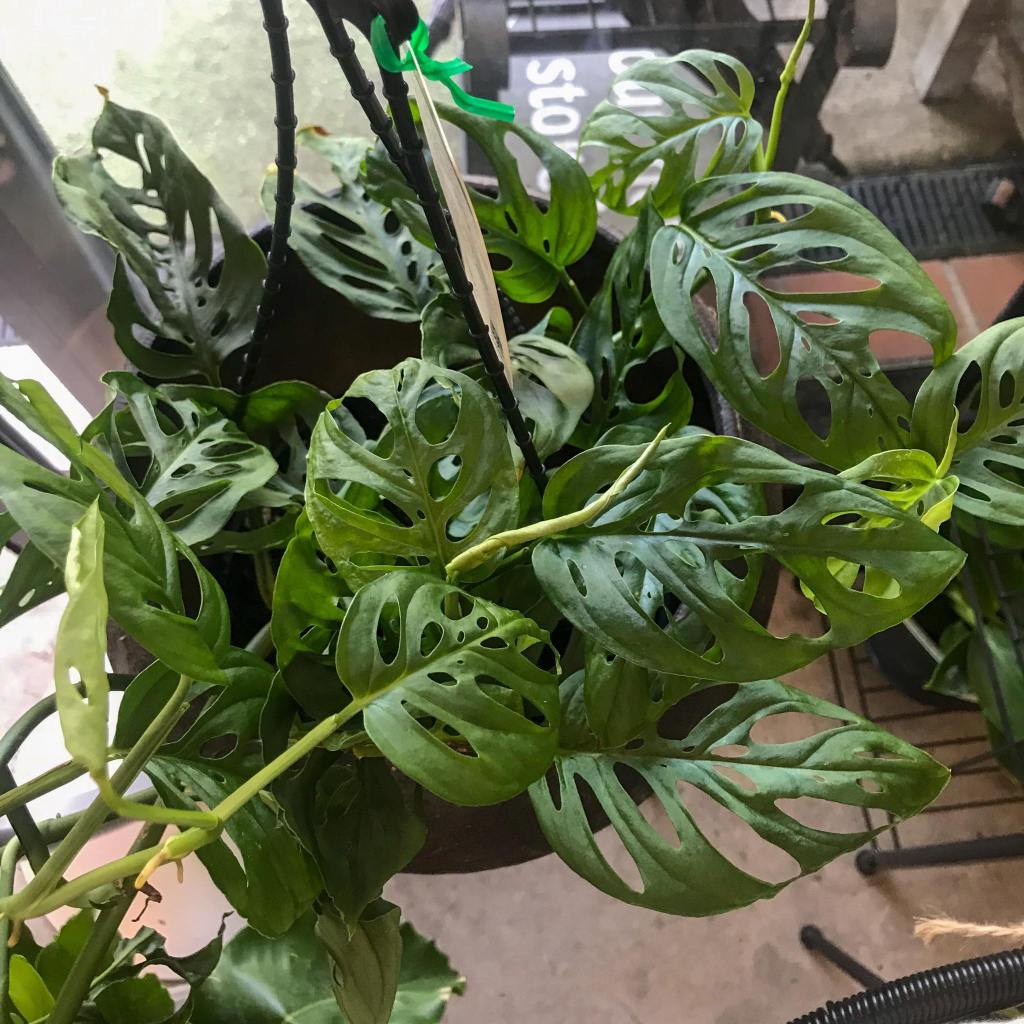 Monstera Adansonii (swiss cheese plant) complete care guide.